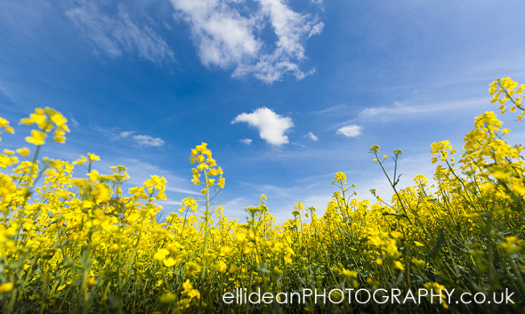 Rutland Rapeseed Field